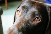 Psie oči sa vyvinuli počas niekoľkých tisícok rokov trvajúceho zdomácnenia najlepšieho priateľa človeka.