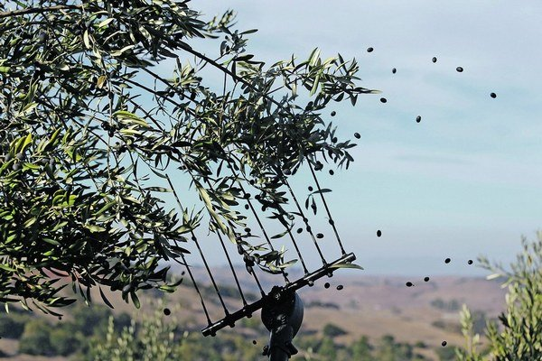 Olivy napáda nebezpečná baktéria.