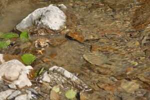 Skokan zelený tiež žije v potoku.