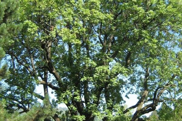 Nádherný velikán má okolo 250 rokov.