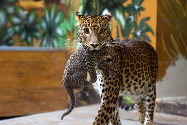 Mláďata leoparda/Ilustračné foto.