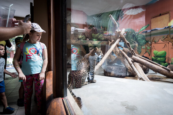 Ročná samička leoparda v bratislavskej zoo.