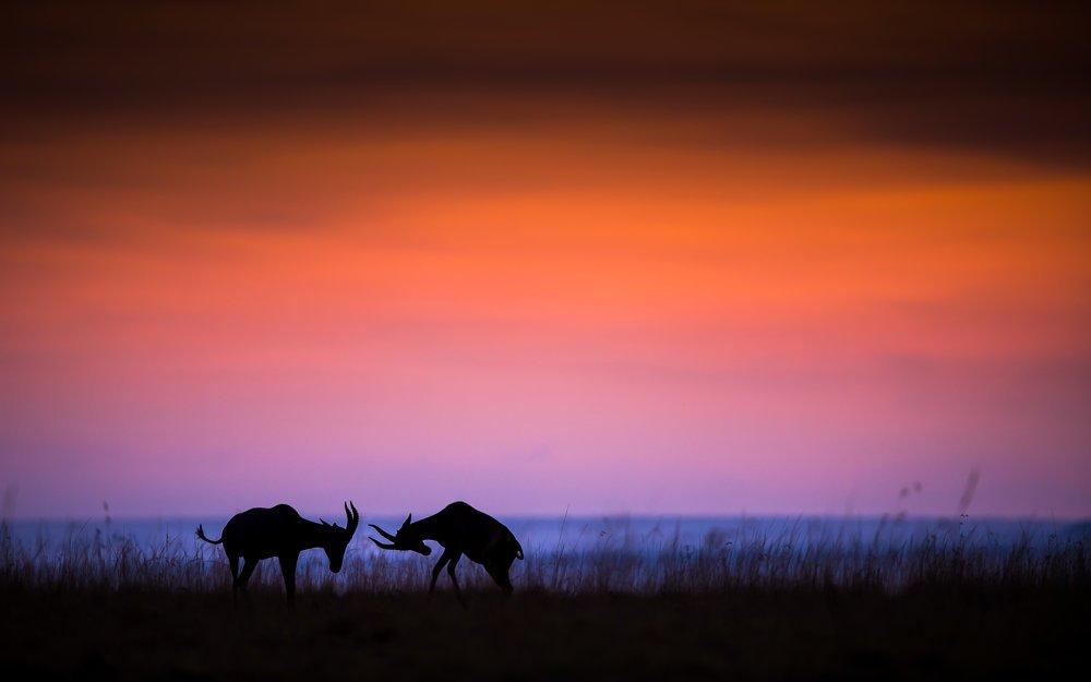 Zápas antilop topi v Maasai Mara, Keňa.