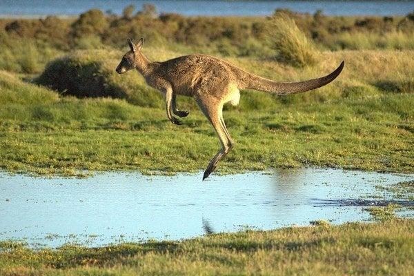 Chvost je pre kengury kľúčový.