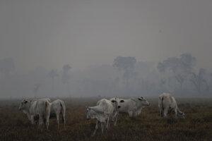 Uprostred dymu z lesných požiarov sa dobytok pasie na farme neďaleko mesta Porto Velho.