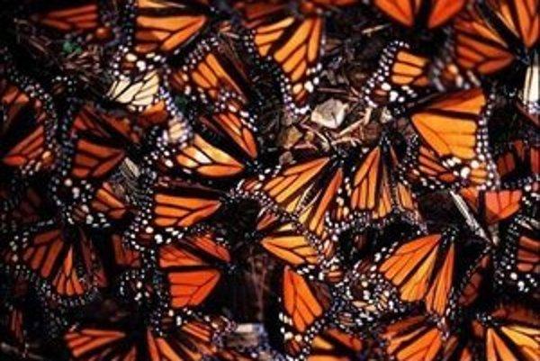 Milióny motýľov sú v Mexiku turistickou atrakciou.