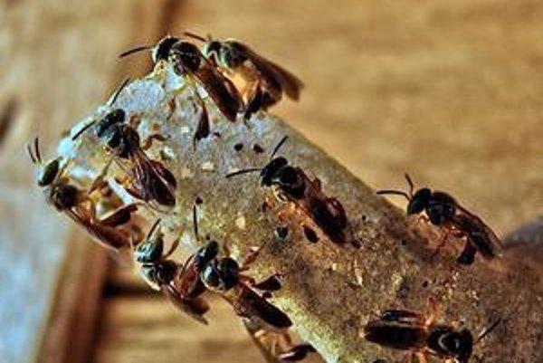 Včely Jatai nemajú žihadlá. Ich bojovníci pri boji  hryzú protivníka.