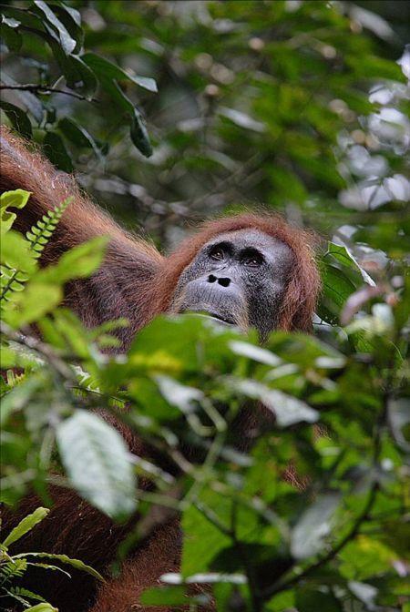 hvizdajuca_orangutanica3.jpg