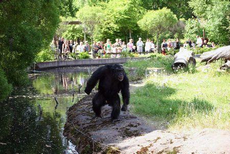 simpanz_kamene2.jpg