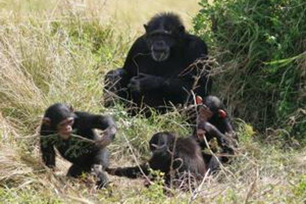Môžu byť detské hry vrodené? Naznačuje to výskum šimpanzov.