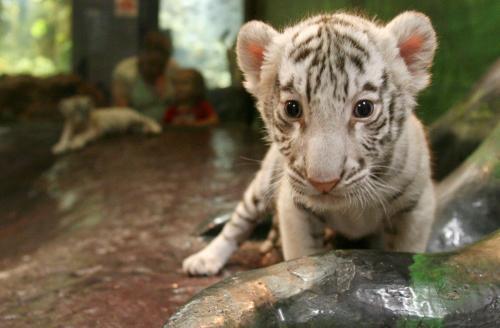 biely-tiger_tasrap.jpg