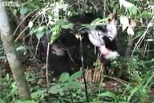 Šimpanz skúma pascu.