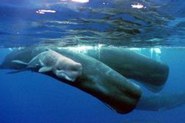 Ani tento rok sa budúcnosť veľrýb nevyjasnila.