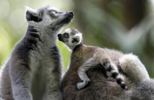 lemury_2_ap.jpg