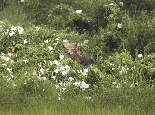 kojot_ap.jpg