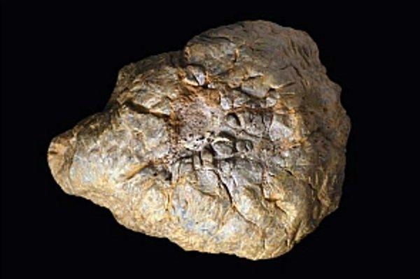 Novoobjavený dinosaurus mal na hlave zhrubnutý kostný útvar (na snímke), ktorý mu slúžil ako baranidlo a ochranný štít pri súbojoch.