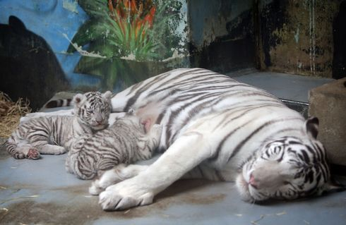 tigre-tomas.rw_res.jpg