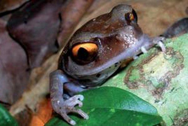 Jedna z novoobjavených žiab na snímke. Takzvanú Smithovu žabu objavili v roku 1999.