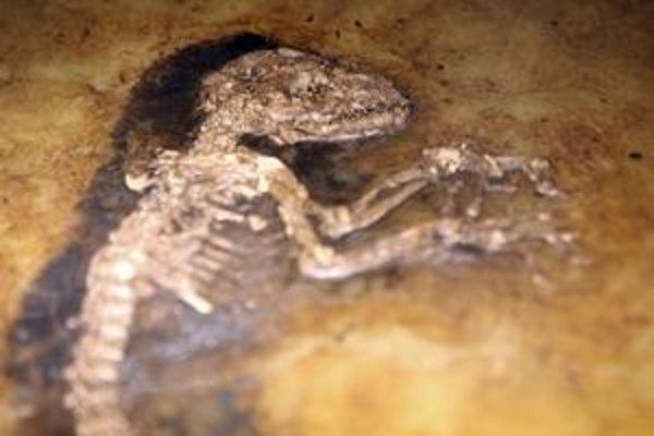 Fosília Ida. Stará 47 miliónov rokov, veľká 53 centimetrov, zrejme v deviatom či desiatom mesiaci života.