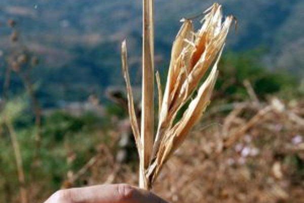 Balsaská teosinte, divý predok kukurice, z oblasti stredného toku rieky Balsas v juhozápadnom Mexiku.