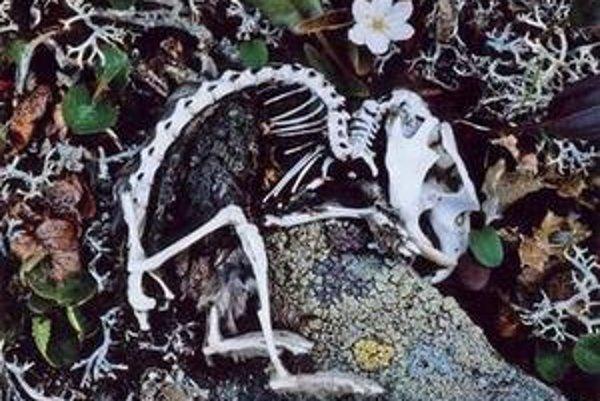 Kostra lumíka ako memento bývalých 3- až 5-ročných cyklov premnoženia a úpadku týchto hlodavcov - lenže od roku 1994 sa v južnom Norsku neznamenalo nijaké premnoženie, iba úpadok lumíkov, a tým aj úpadok ich predátorov, ako sú líšky a sovy.