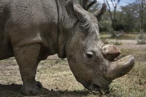 Nosorožec tuponosý severný.