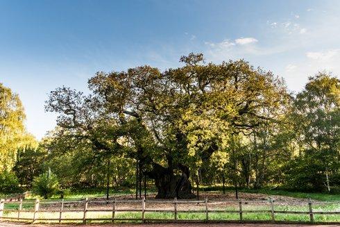 5.eng_major-oak-1--ema-lee--_r9258_res.jpg