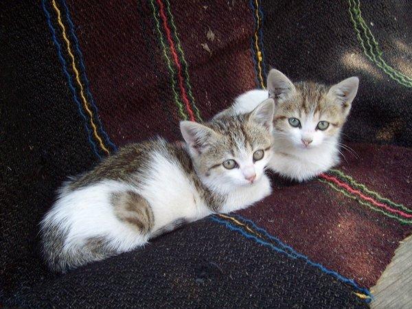 kittens-874773_1280_res.jpg
