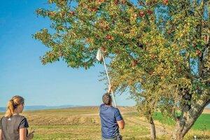 Plody je najlepšie zberať oberákom.