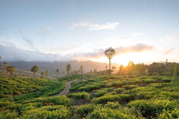 Rozsiahle čajovníkové plantáže sa rozprestierajú najmä vo vnútrozemí Srí Lanky