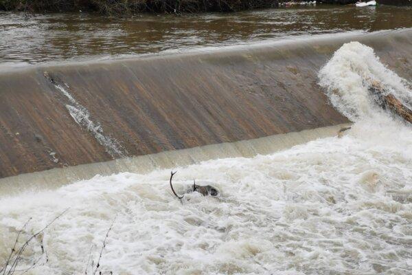 Hať na rieke Hnilec v Gelnici. Jeleň tu našiel svoju smrť.