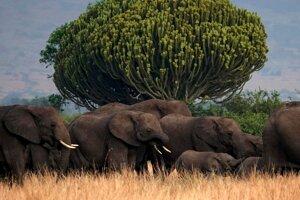 Stádo slonov v Ugande.