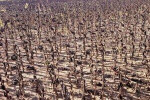 Nekonečné obilné polia Mesety takto spálili slnečnice.