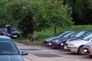 Diviaky sa takto bežne špacírujú po košických uliciach. Tento záber je zo sídliska Ťahanovce.