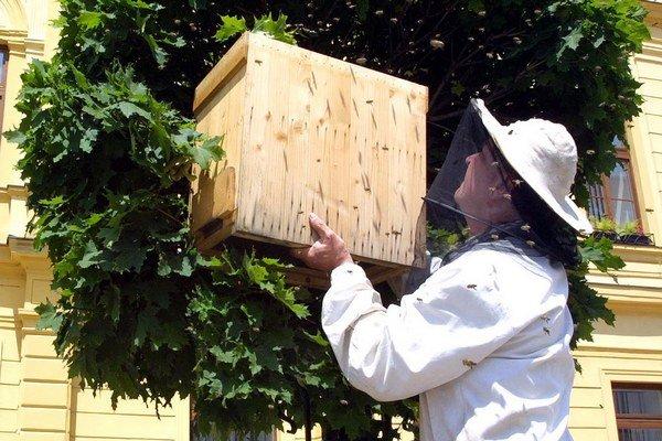 Včelár odchytáva roj do rojáka.