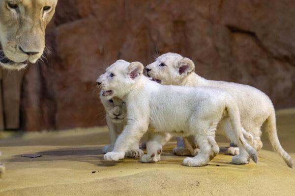 Tri mláďatá leva bieleho vo výbehu v zoologickej záhrade v nemeckom Magdeburgu.