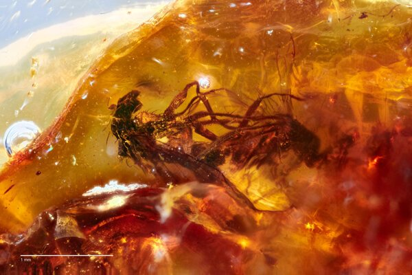 Dve páriace sa muchy v jantári starom približne 41 miliónov rokov.