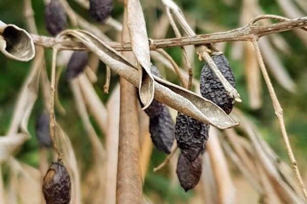 Olivovník na juhovýchode Talianska v regióne Apúlia, ktorý je nakazený baktériou xylella fastidiosa.