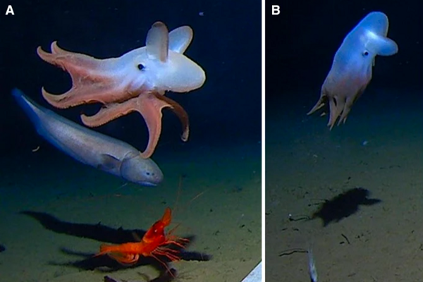 Vľavo chobotnica typu Dumbo v hĺbke 5760 metrov pod hladinou mora a vpravo chobotnica v hĺbke 6957 metrov.
