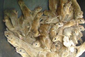 Ochranári zachránili vyše päťsto sysľov pasienkových, ktoré sú v Národnom parku Muránska planina veľkou atrakciou.