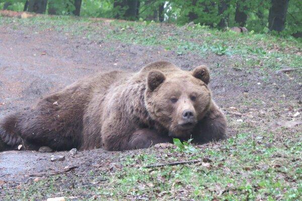 Medveď Števo pri uspávaní.