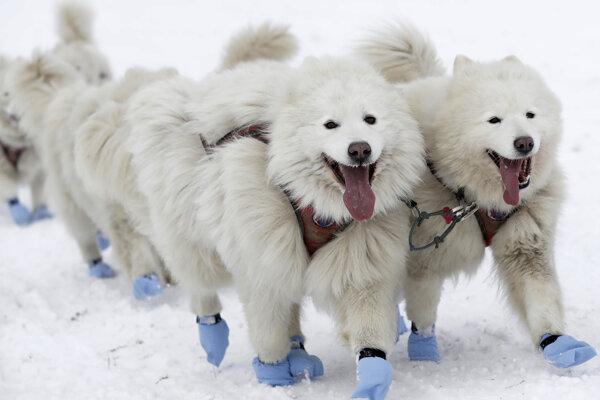 Ilustračná fotografia. Vedci zistili, že záprahové psy človek vyšľachtil pred 9500 rokmi.