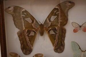 Najväčší Okáň himalájsky - Attacus atlas.
