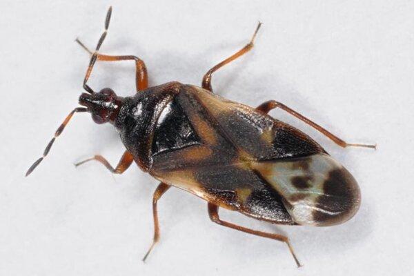 V prípade bzdochy – leskličky ide ide oveľmi užitočný hmyz, očom svedčí aj fakt, že vovocných sadoch je využívaný ako biologická ochrana proti voškám.