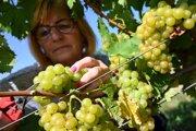 V tokajských vinohradoch začali so zberom hrozna.