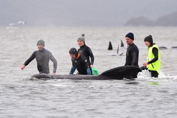 Na pobreží uviazli stovky veľrýb.