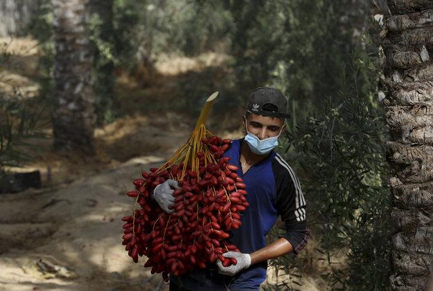 Zber ďatlí v oblasti Deir el-Balah v Pásme Gazy.