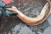 Rybári zatiaľ vyťahujú z vody prevažne tolstolobiky. No nechýbajú ani dravce. V sieti sa objavila aj takáto krásna šťuka.