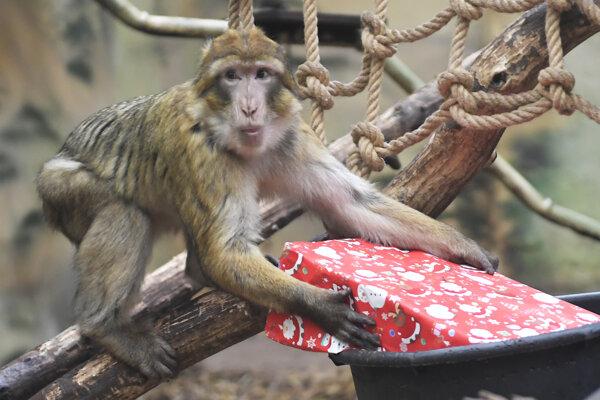 Z darčekov sa tešila aj rodina makakov magotov. Ako prvý sa najväčšieho balíčka zmocnil Pepo.