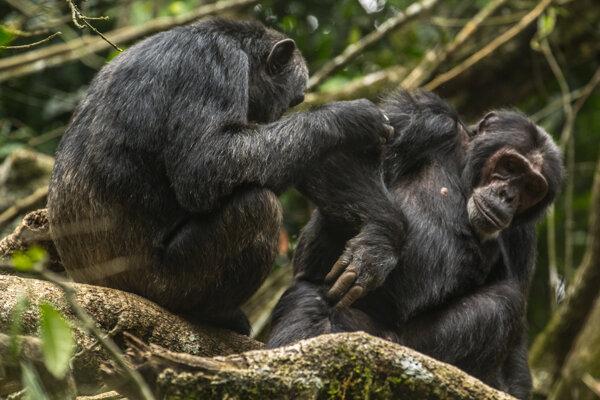 Ilustračné foto. Šimpanzy v parku Kibale.